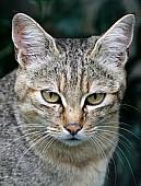 Captive African Wild Cat