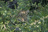 Leopard Peering from Green Vegetation