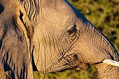 Young Elephant, Side-On
