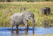 Elephant Standing in River Shallows