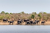 Elephant Herd Gathering to Drink