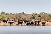 Elephant Herd Gathering to Drink