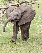 Baby Elephant Striding in Green Grass