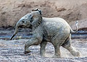 Elephant Youngster Running, Side View
