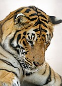 Bengal Tiger Looking Down