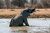 Elephant in Muddy Pool