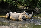 Rhino Taking Mud Bath