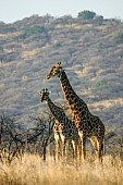 Giraffe Pair in Acacia Thornveld