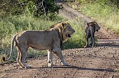 Lion Males in Road