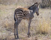 Zebra Youngster