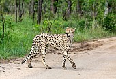 Cheetah Male Crossing Road