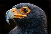 Verreaux's Eagle, Close-Up