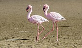 Lesser Flamingo Pair