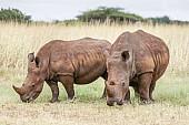 White Rhino Pair Grazing