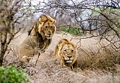 Pair of Male Lions in Winter Vegetation