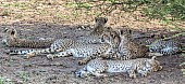 Cheetah Family of Six