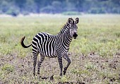 Zebra in Playful Pose