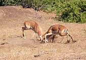 Antelope Rams Fighting
