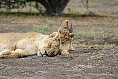 Lion Cub with Sleeping Lioness