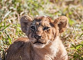 Young Lion Cub, Close-up of Head and Torso
