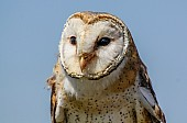 Barn Owl, Close-Up