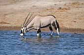 Gemsbok Drinking from Watehole
