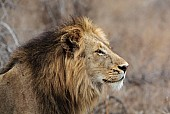 Male Lion Alert for Prey