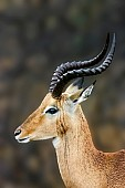 Impala Ram in Rain