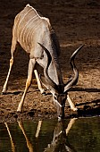 Kudu Bull Drinking from Waterhole