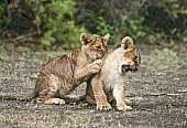 Lion Cubs Play-Fighting