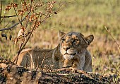 Lioness Keeping Watchful Eye