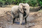 African Elephant Taking Mud Bath