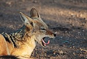 Black-backed Jackal Yawning with Tongue Curled