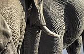 Elephant Trio, Detail View
