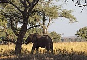 African Elephant in Deep Shadow
