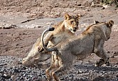 Young Lions at Play