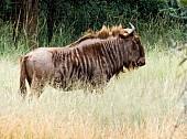 Golden Wildebeest, Side-On