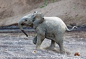 Elephant Youngster Running