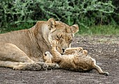 Lion Cub Pawing Mother's Face