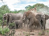 African Elephant Squrting Dust