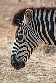 Zebra head, close-up