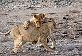Lion Juveniles Practice Attack Skills