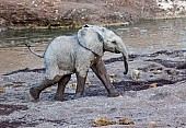 Baby Elephant Striding Out