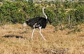 Ostrich Male