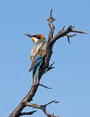 European Bee-eater Looking Skywards
