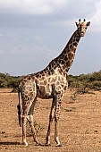 Giraffe Standing, Side-on View
