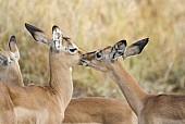 Baby Impalas Nuzzling