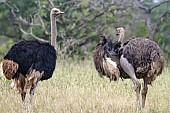 Ostrich Pair