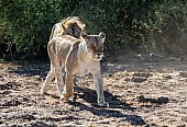 Lion Male Tracking Lioness