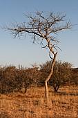 Paperbark Acacia Tree